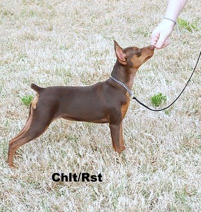 Mini Pinscher Full Grown